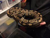 Female Normal Ball Python 09