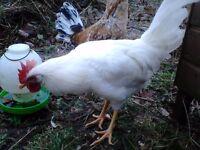 Leghorn Roosters