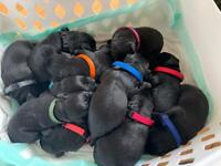 KC Registered Black Labradors