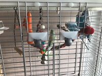 1 female budgie and 2 male budgies