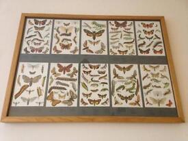 Light Oak Framed Moth/butterfly book prints
