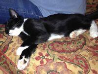 Oscar 5 month kitten missing from Thornhill on 3rd January. Black & White.