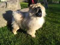 Chow chow puppy for sale 5 months old