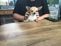 Tiny Teacup Chihuahua ( 18 month old female )