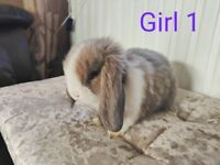Beautiful Silver & White Holland Lops