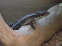 2 plated lizards male and female come with Large 4 foot vivarium in grimsby
