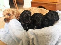 Cavapoo F1b Puppies