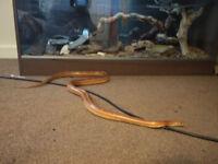 Adult male corn snake