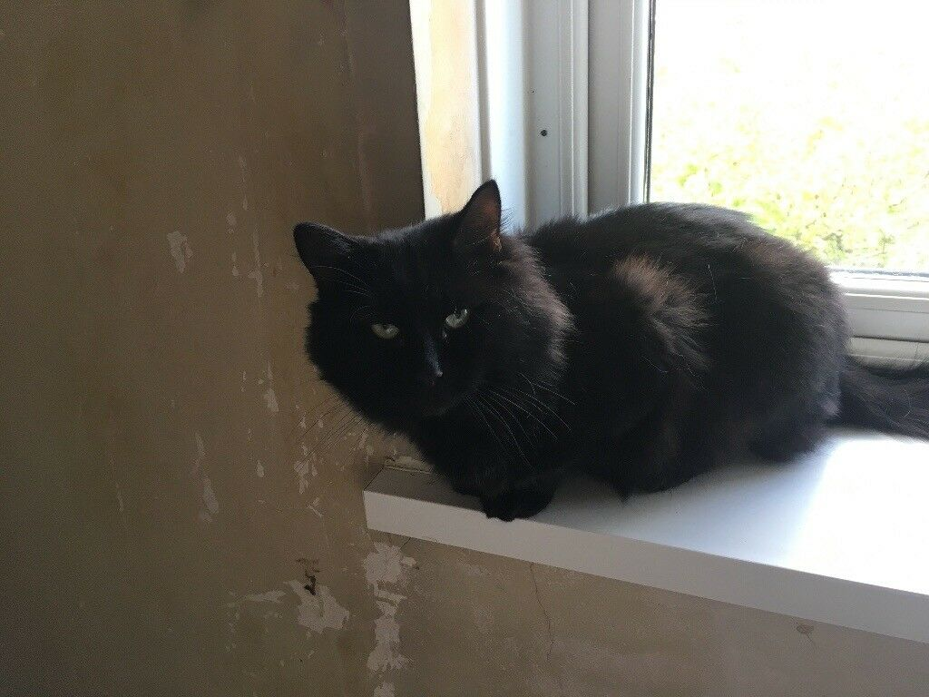 Black cat for sale in Moortown West Yorkshire
