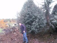 Prunus lusitanica approx 12Ft x 8ft wide instant evergreen screen