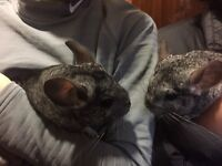 2 gorgeous female chinchillas with whole set up included