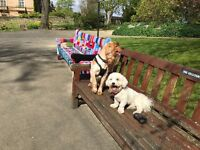Fun, Intelligent bichon frisé is looking for a loving home