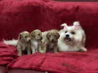 Cavapoo small toy puppies bitch girl PRA puppy x poodle apricot red adorable dog