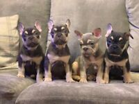 French bulldog puppy's