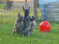 5 beautiful french bulldog puppies