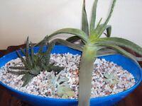 three plant cactus garden