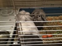 Beautiful furry rabbits for sale, needing 5* Home. Includes cage and run, feed etc.