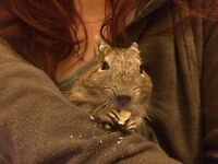 2yers old degu with cage for free.urgent