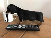Miniature Dachshund kc reg pra clear ready today microchip and injection done
