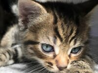 Only 1 left of 4 Exceptionally cute kittens looking for their forever home