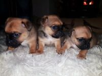 Jug puppies for sale (Jack Russell x Pug) £400