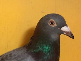 Pigeons For Sale   in Harrow, London   Gumtree