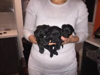 Yorkiepoo / Yorkiedoodle Puppies for sale