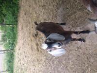 Nubian buck 1.5 years old