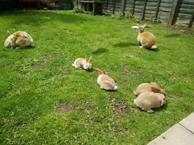 Rabbits Continental Giant pet rabbit french loop