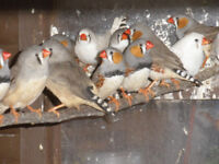 zebra finches for sale 2016 birds fawn and greys please bring your own carrying box