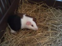 8 WEEK OLD BABY MALE GUINEA PIG. MULTI COLOURED.