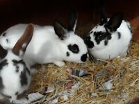 RABBITS FOR SALE LOP CROSSED ENGLISH MUM AND TWO SIBBLINGS
