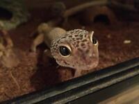 2 stunning leopard geckos with viv
