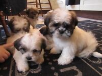 Beautiful SHIH TZU PUPS , Boys&girls £295 , keady Co.Armagh area