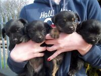 pure bred patterdale puppies