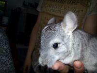 chinchillas for sale £40/ each
