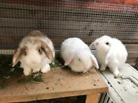Bunnies ( mini lop )