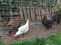 Egg laying 4 hens for sale