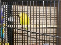 Young female Budgies For Sale