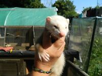 Ferrets, 2 hobbs and 1 jill £10 each for the hobb £12 the jill.