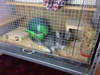 Chinchilla, two years old male with large cage and all accessories. London NW9