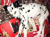 6 month old dalmation