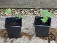 Geranium Pink Plants