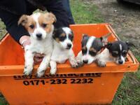 Jack Russel cross puppy's