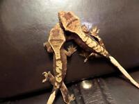 Locally bred crested geckos for sale!