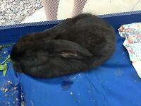 FOUND BLACK RABBIT