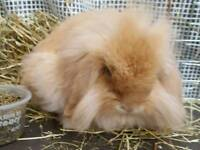 Mini orange Lion lop