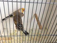Canary mule