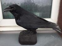 Carrion crow ( taxidermy )