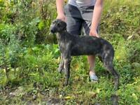 Deerhound greyhound